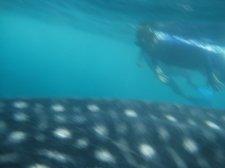 big-whale-shark-006.jpg