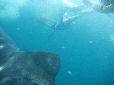 big-whale-shark-013.jpg