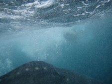 big-whale-shark-014.jpg