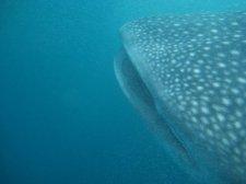big-whale-shark-001.jpg