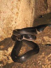 samar-snake-001