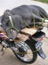 Hog Tied