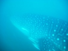 watching-whale-sharks-donsol-001