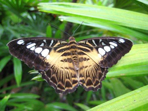 Palawan Butterfly on Leaf