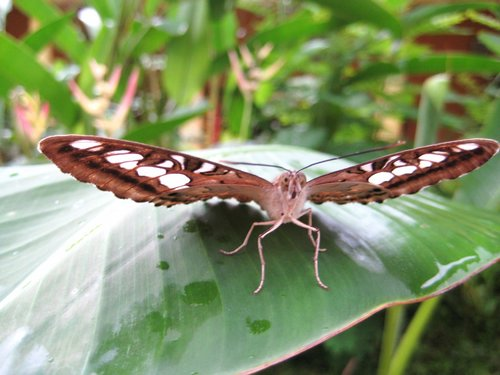 butterfly on banana leaf
