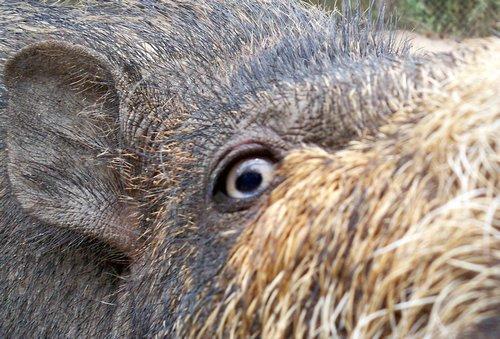 palawan-bearded-pig-palawan-008