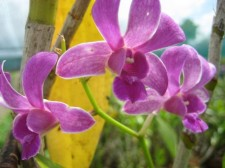Growing Orchids in Cebu