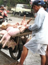 hauling-pork-006