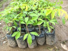 mindanao-rubber-tree-002