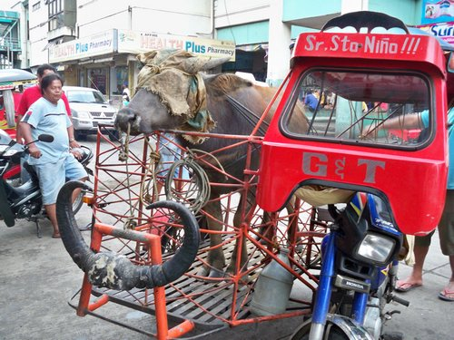 Carabao on Tricycle