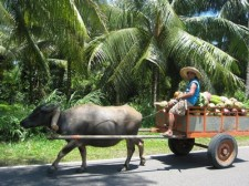 Ox cart with vegetables