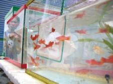 tropical-fish-philippines-010