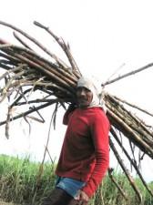Sugar Cane – Negros Island