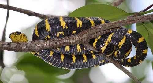 Palawan Mangrove Snake