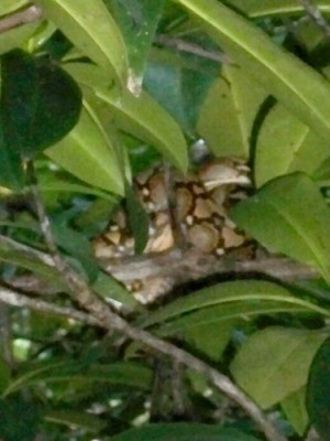 sabang-mangrove-0131