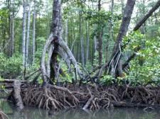 sabang-mangrove-014