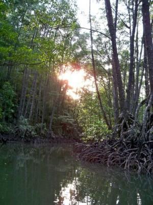 sabang-mangrove-022