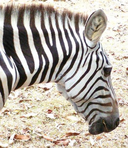 beautiful-zebras-0041