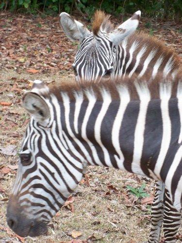 beautiful-zebras-009