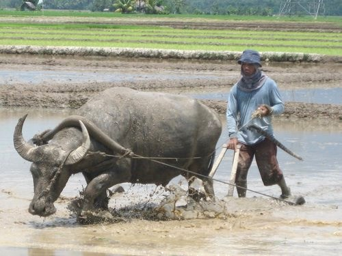 plowing rice field