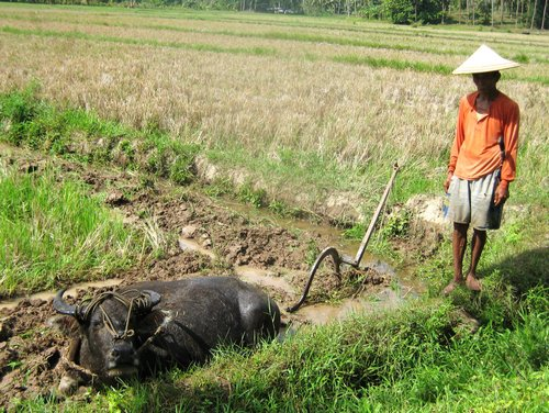 rice farmer and carabao