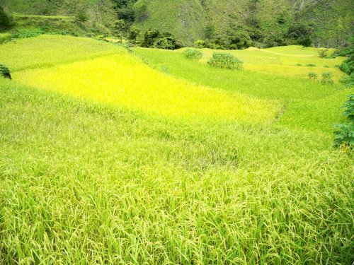 beautiful mountain rice