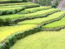 Beautiful mountain rice