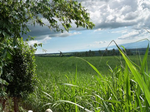 cane field behind the house