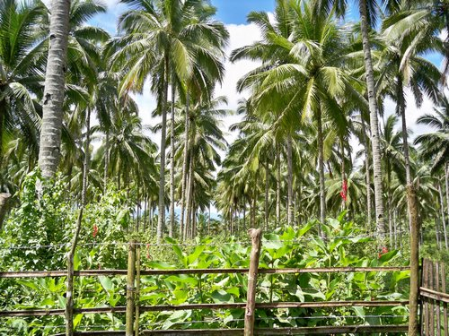 coconut tree plantation