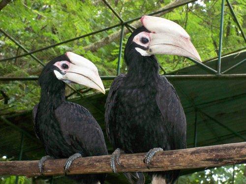 Philippine hornbills