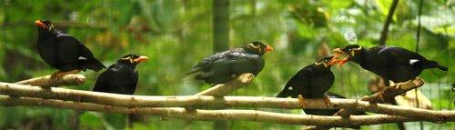 maynah birds