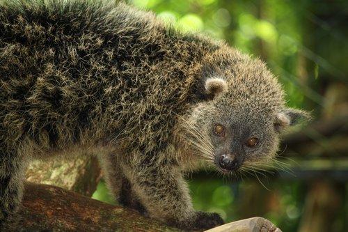 Philippine Bearcat - Binturong