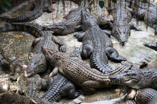 Palawan crocodile rearing pen