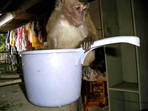 monkey with water bowl