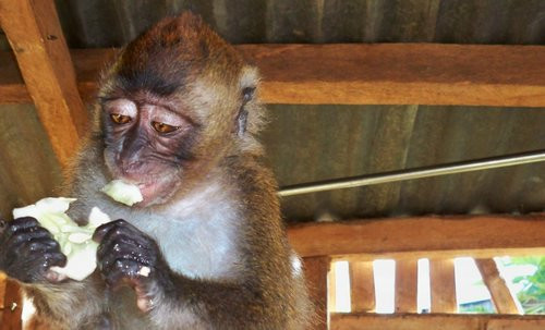 monkey eating cucumber