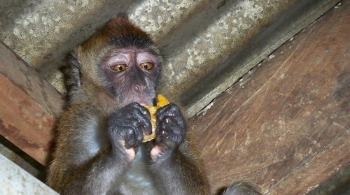 monkey eating orange slice