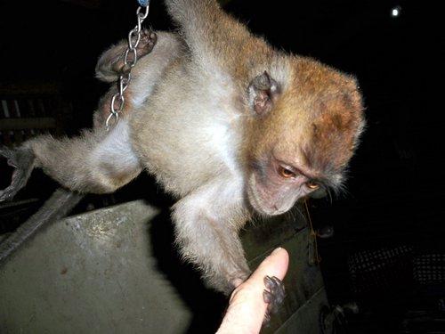 handling a pet monkey