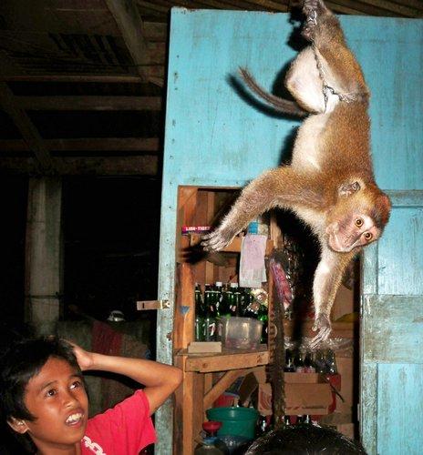 hair pulling monkey