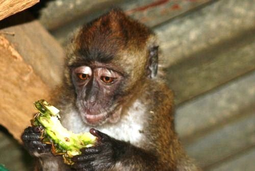 pet monkey eating pineapple