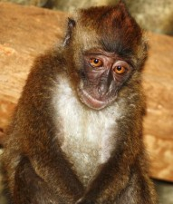young female monkey as a pet in the philippines