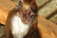 Raising a pet monkey