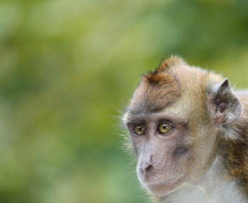 Sabang monkey