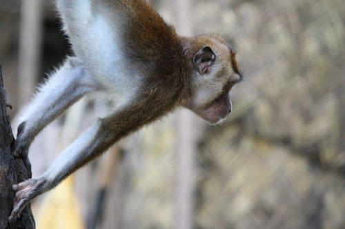 Philippine monkey