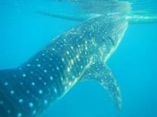 Oslob Whalesharks Butanding