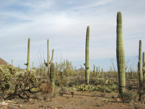 Sagauro cactus in the desert