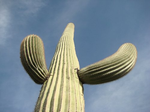 Sagauro cactus with arms