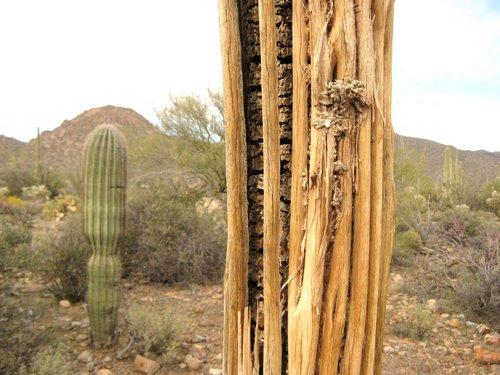 sagauro cactus ribs
