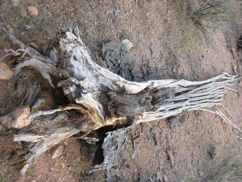saguaro cactus roots and ribs