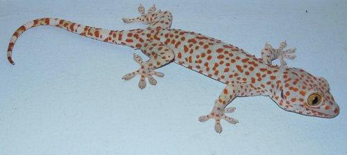 dp-gecko