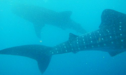 two whalesharks in the Philippines